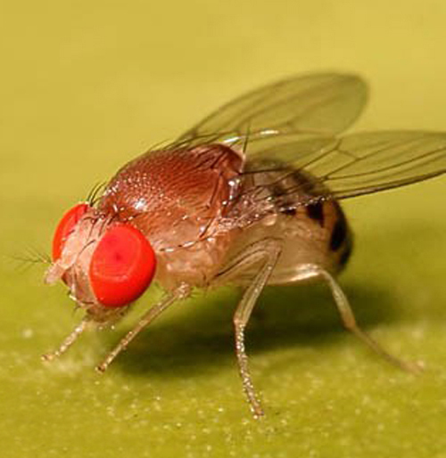 Äðîçîôèëà ôîòî / Photo Drosophila