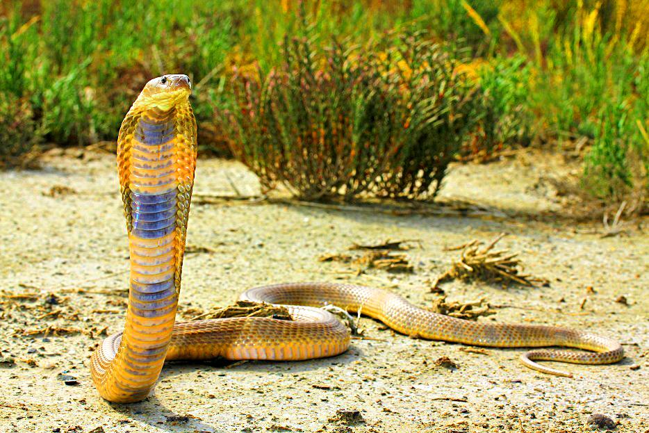 Самая крупная кобра - невымышленный рассказ о встрече со змеей